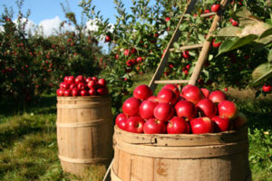 barrels-of-apple
